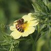 Honey Bee on Potentilla