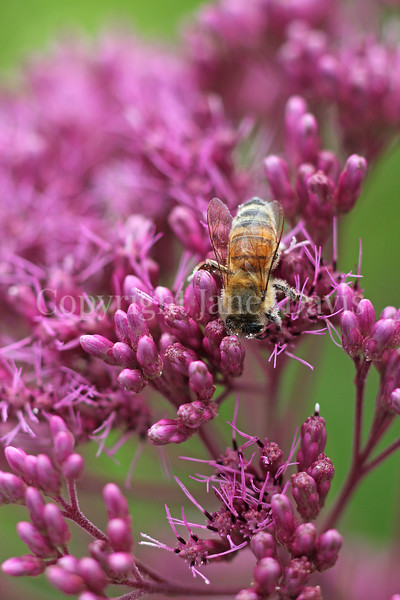 Honey Bee on Joe Pye Weed 2