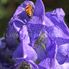 Honey Bee on Autumn Monkshood 1