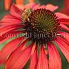 Honey Bee on Echinacea 'Firebird' 3