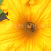 Honey Bee on Squash Flower 1