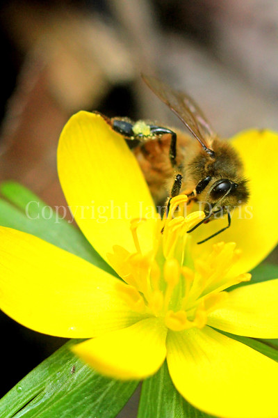 Honey Bee on Winter Aconite 3