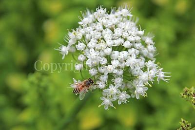 Honey Bee on Onion Flower 2