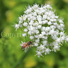 Honey Bee on Onion Flower 2