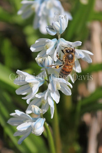 Honey Bee on Striped Squill 1