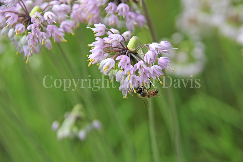 Honey Bee on Nodding Onion 1