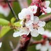 Honey Bee on Apricot Blossom