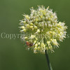 Honey Bee on Twisted-Leaf Garlic 2