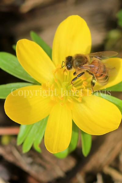 Honey Bee on Winter Aconite 1