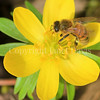Honey Bee on Winter Aconite 1