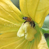 Honey Bee on Cucumber Flower 2