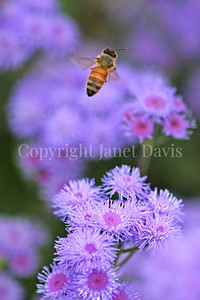 Honey Bee on Ageratum 2