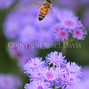 Honey Bee on Ageratum 2