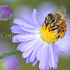 Honey Bee on Light Purple New England Aster