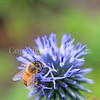Honey Bee on Ruthenian Globe Thistle 2