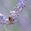 Honey Bee on Russian Sage 2