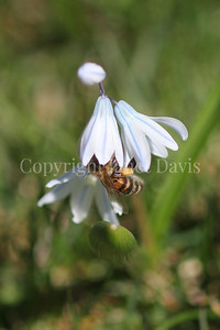 Honey Bee on Striped Squill 3