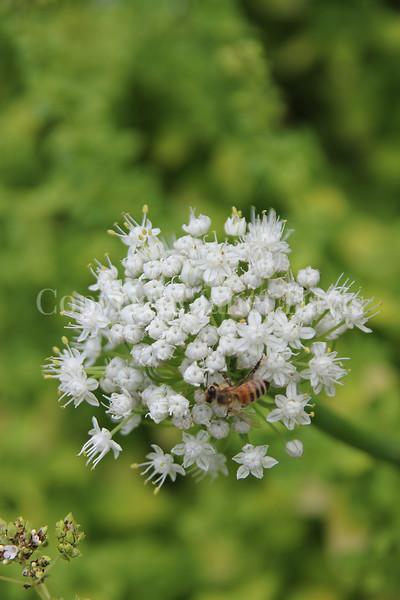 Honey Bee on Onion Flower 1