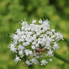 Honey Bee on Onion Flower 1