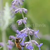 Honey Bee on Russian Sage 4