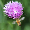 Honey Bee on Chives 1