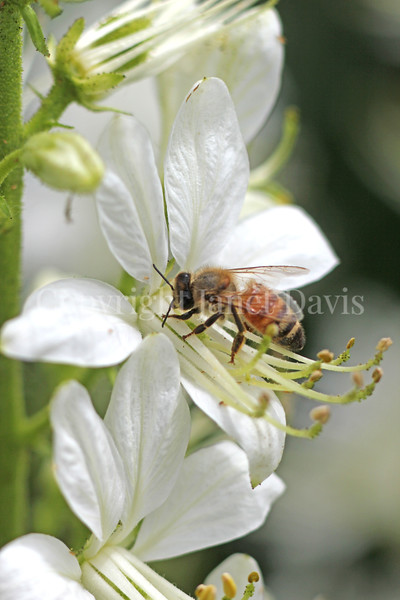 Honey Bee on Gas Plant 2