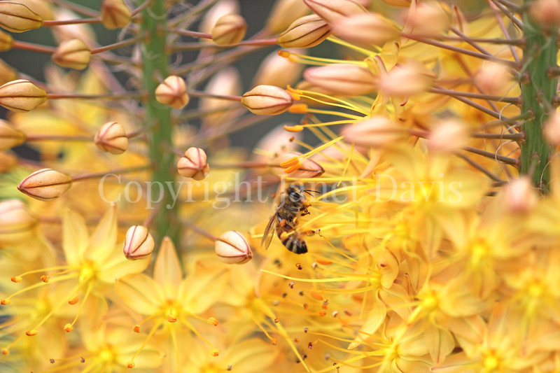 Honey Bee on Foxtail Lily or Eremurus 2