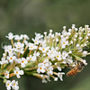 Honey Bee on 'White Profusion' Butterfly Bush