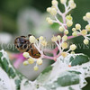 Honey Bee on Porcelain Vine 1