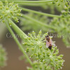 Honey Bee on Garden Angelica 3