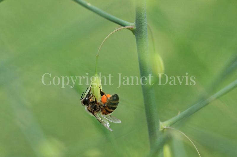 Honey Bee on Asparagus Flower 2