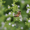 Honey Bee on Calamint 4