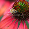 Honey Bee on Echinacea 'Firebird' 3