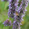 Honey Bee on Anise Hyssop