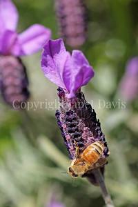 Honey Bee on Spanish Lavender 4