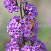 Honey Bee on Butterfly Bush 4