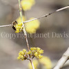 Honey Bee on Cornelian Cherry 1