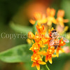 Honey Bee on Butterfly Milkweed 1