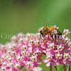 Honey Bee on Swamp Milkweed 1