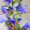 Honey Bee on Viper's Bugloss 3