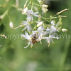 Honey Bee on Anthericum 1