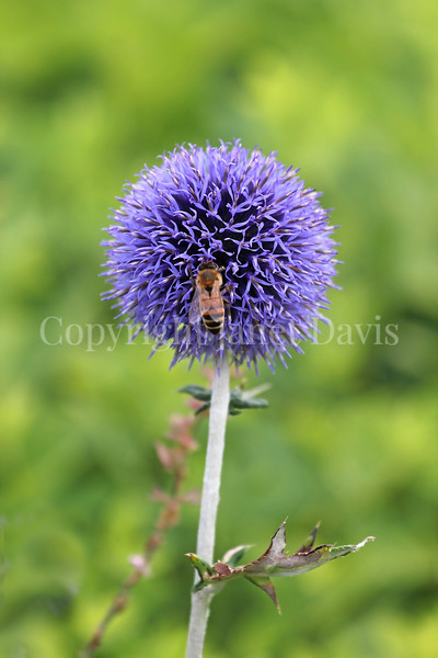 Honey Bee on 'Veitch's Blue' Globe Thistle 2