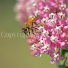 Honey Bee on Swamp Milkweed 2
