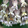 Honey Bee on Common Milkweed 2