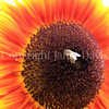 Honey Bee on Sunflower 5