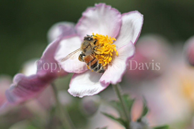 Honey Bee on Japanese Anemone 3