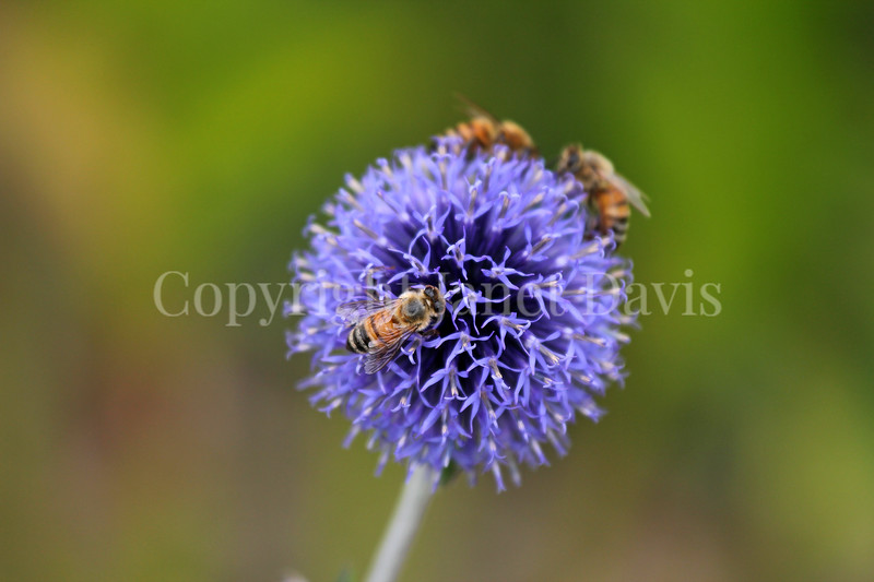Honey Bee on 'Veitch's Blue' Globe Thistle 3
