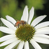 Honey Bee on Echinacea 'White Swan'