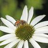 Honey Bee on Echinacea 'White Swan'