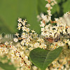 Honey Bee on Japanese Knotweed 4